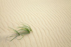 Grass on sand Royalty Free Stock Photo