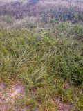 Grass on the sand of the Beach in Brazil royalty free stock image