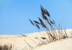 Grass on sand dunes Royalty Free Stock Photos