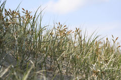 Grass on sand dunes Stock Images