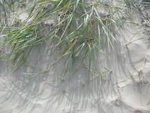 Grass in the sand on the dunes Stock Photos