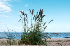 Grass in sand. Royalty Free Stock Image