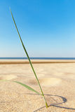 Grass on sand. Royalty Free Stock Photo