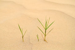 Grass in sand Royalty Free Stock Photo