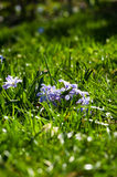 Grass and Scillas. Low down shot of grass and Scillas Royalty Free Stock Photos