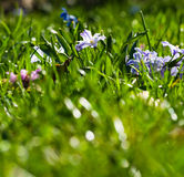 Grass and Scillas. Low down shot of grass and Scillas Royalty Free Stock Images