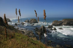Grass on a sea cliff. Blades of grass over looking the Pacific Ocean from atop the cliffs Stock Photography