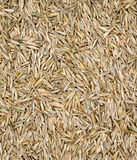 Grass seed. Closeup of grass seed / seeds for background stock photos