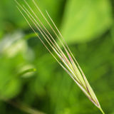 Grass Seed Royalty Free Stock Photography