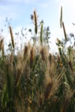 Grass seed. Backlit long grasses in seed Royalty Free Stock Photo