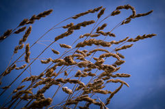 Grass Seed. Dry grass seed stalks against a blue sky stock images