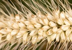 Grass seed in the ear. macro. In the park in nature royalty free stock images