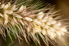 Grass seed in the ear. macro. In the park in nature stock image