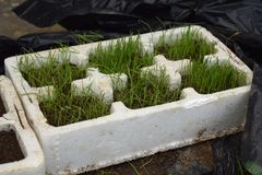 Grass seed germinating and growing in tray Royalty Free Stock Photography