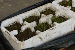 Grass seed germinating and growing Stock Photography