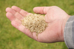 Grass Seed. Hand holding grass seed against a defocussed lawn background stock images