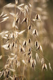 Grass seed head on long stem flowers with a dark brown centre. Cone shaped grass seed head on long stem growing with other flowers, grasses and wild flowers Royalty Free Stock Images