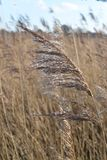 Grass seed head. Wild grass seed head blown in the wind royalty free stock image
