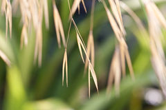 Grass seed heads Royalty Free Stock Photography