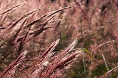Grass Seed-heads at Golden-Hour. stock images