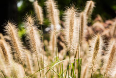 Grass seed heads. Grass seeds backlight from sun Royalty Free Stock Photography