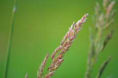 Grass seed tassle Royalty Free Stock Photos
