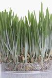 Grass seedlings Stock Photo