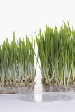 Grass seedlings Stock Images