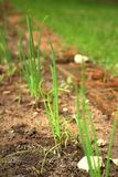 The grass or seedlings emerging naturally. Royalty Free Stock Image