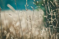 Grass with seeds in field. Grass with seeds in field - closeup with shallow focus stock images