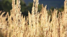 Grass seeds stock video footage