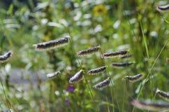 Free Grass Seeds Of Bouteloua Hirsuta Hairy Grama Stock Photography - 156607692