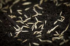 Grass seeds in soil Royalty Free Stock Photography