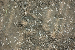 Grass seeds in soil. Seeds of lawn grass on cultivated soil Stock Photo