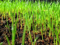 Grass sprouts macro. Freshly grown grass out of the soil - picture taken on a sunny day after a rain shower Stock Images