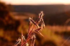 Grass seeds. On a stem in the morning light royalty free stock image