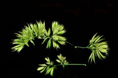 Grass seeds. On top of the plant royalty free stock photography