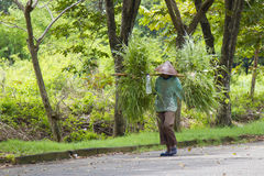 Grass seeker. Indonesian grass seekers is carrying a lawn grass for fodder Royalty Free Stock Photography
