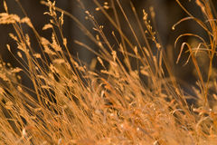 Grass shaken by wind Royalty Free Stock Photography