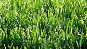 Grass shaking stock footage