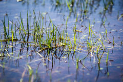 Grass in shallow pool of water Royalty Free Stock Photos