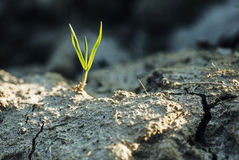 Grass shoot. Grass shoot growing from parched soil