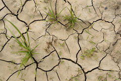Grass shoots on cracked dry soil. Concept of drought Royalty Free Stock Image