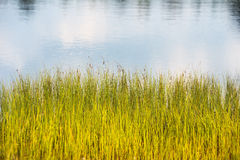 Grass on the shore of the lake Royalty Free Stock Photo