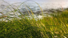 Grass on the shore of the lake
