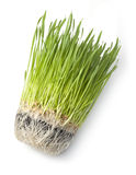 Wheat Grass Green health Food Stock Photo