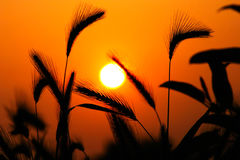 Grass Silhouette Against Sunset. Close up of ripening rye ears. Secale cereale L. Southern California, USA Royalty Free Stock Image