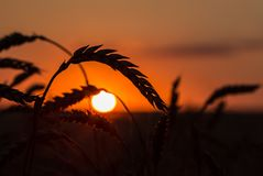 Grass Silhouette Against Sunset. Close up of ripening rye ears. Shallow DOF. Secale cereale L Stock Photography