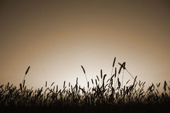Grass silhouette in sepia Royalty Free Stock Image