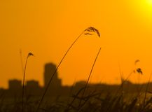 Grass silhouette at sunset Royalty Free Stock Photo